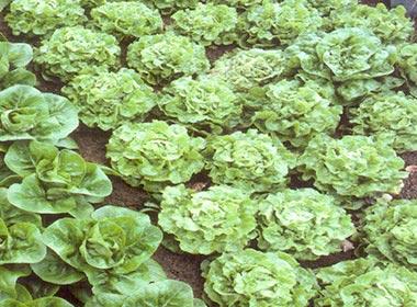 lettuce_rows